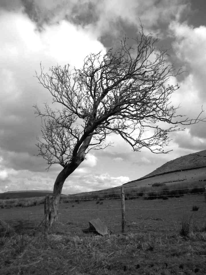 Windblown tree