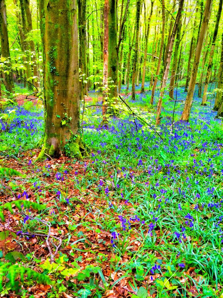 Bluebell (1 of 1)